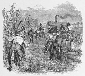 sockerplantage1