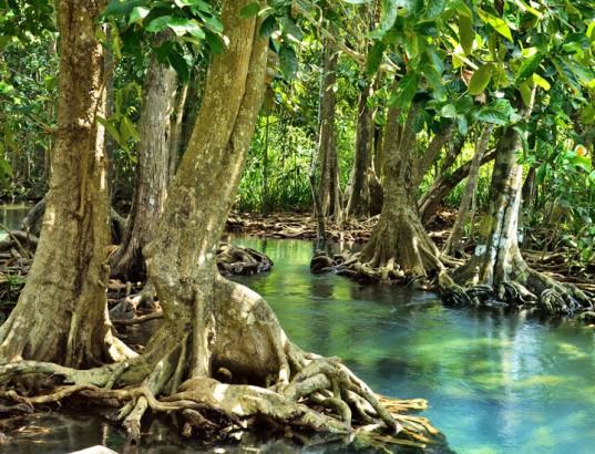 mangrove-forest-537x410