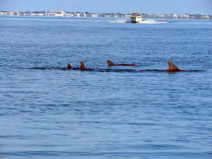 delfinermotbåt