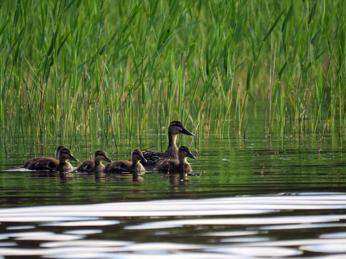 En gräsandhona med sina ungar på utflykt.